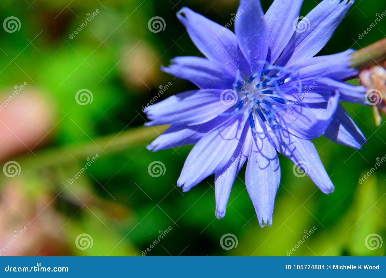 Closeup Blue flower Common chicory Cichorium intybus