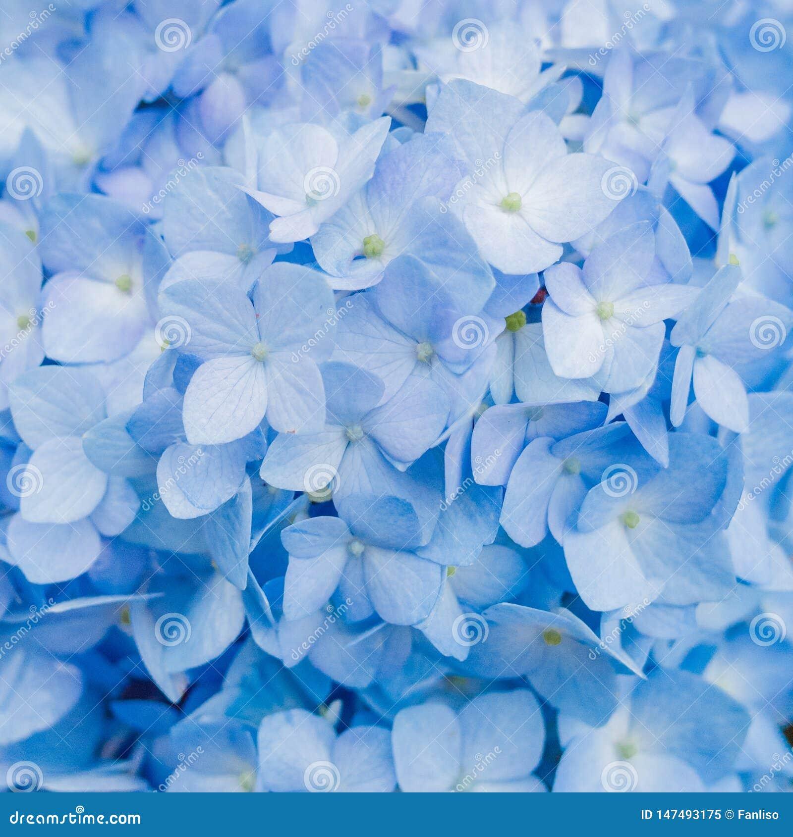 Closeup of blue hydrangea in summer