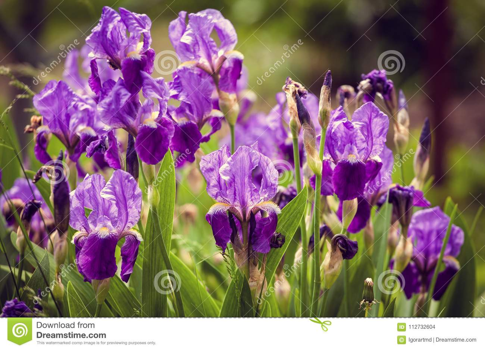 Iris Flower In Garden Stock Photo Image Of Beautiful 112732604