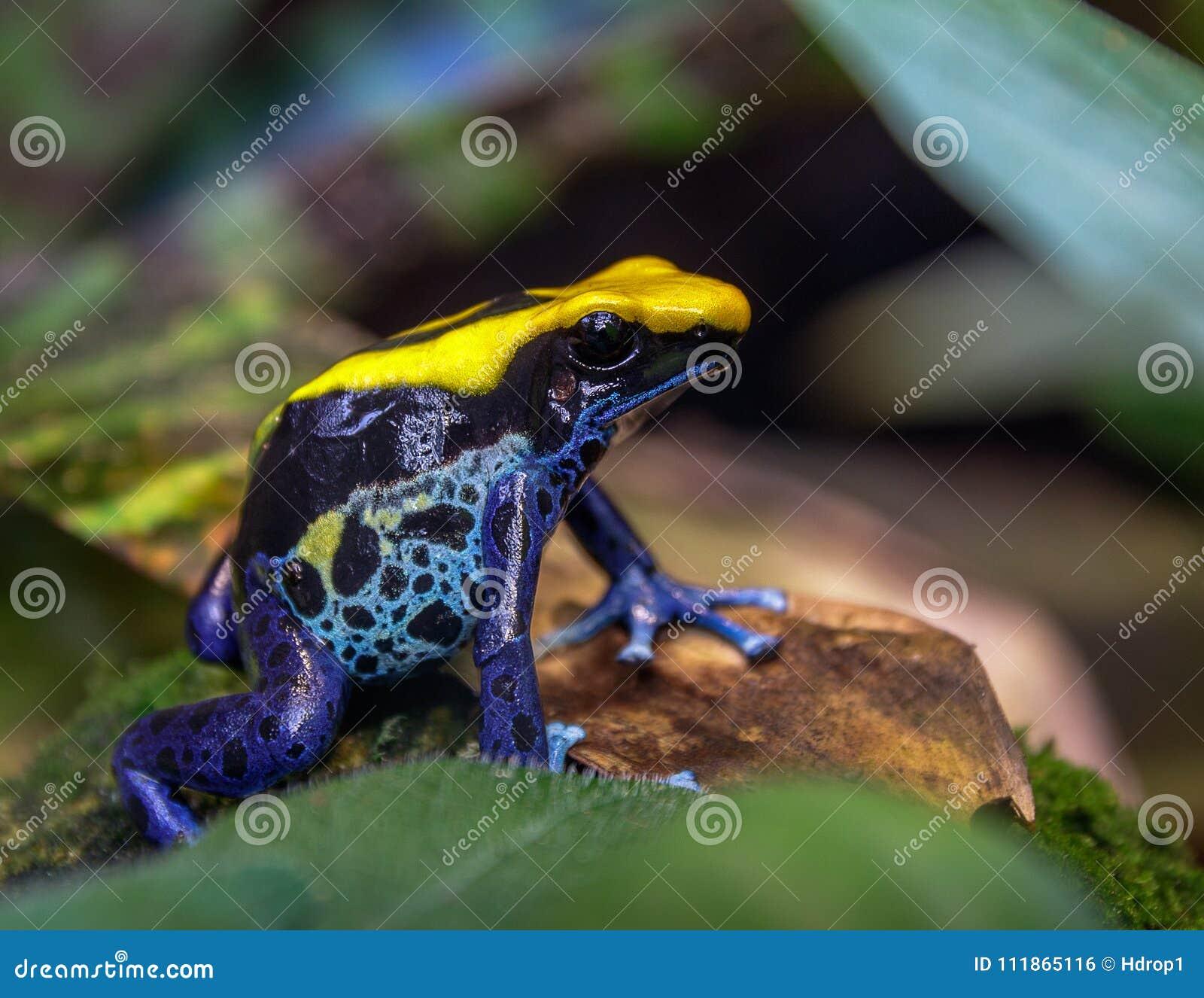 Blue and yellow Brazilian poison dart tree frog dendrobates tinctorius