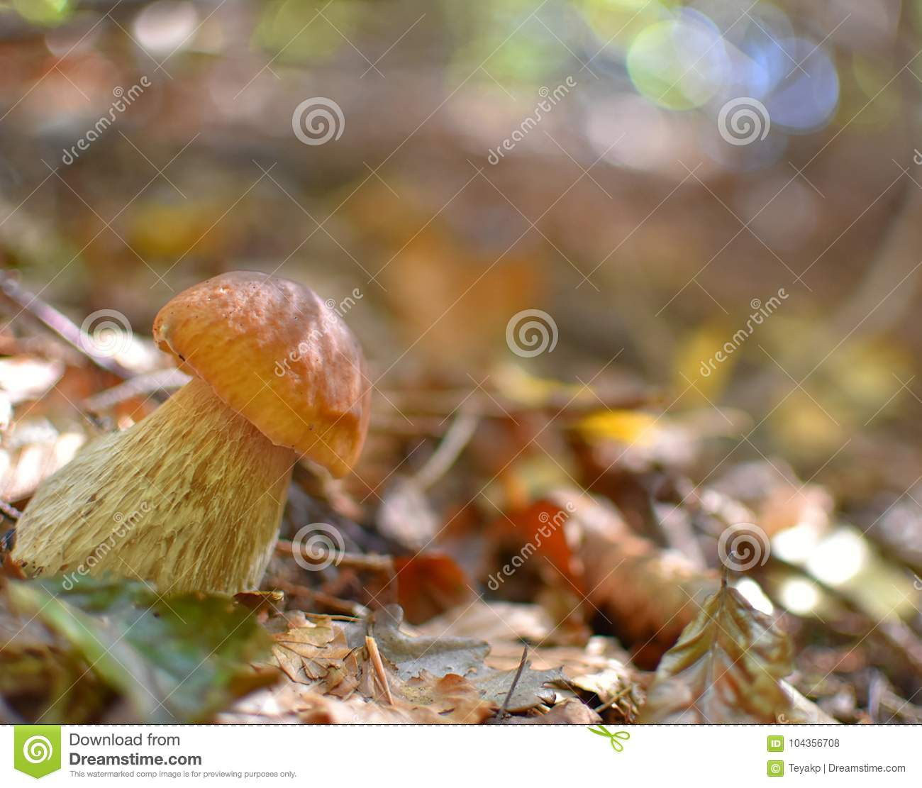 Closeup of boletus in autumn forest