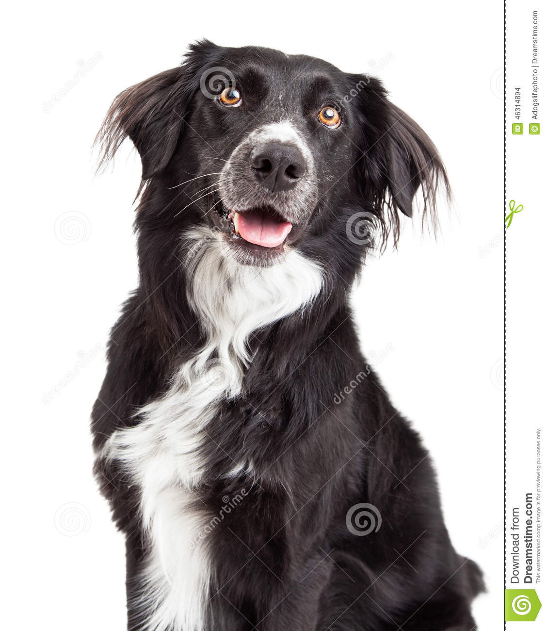 Closeup of Border Collie Mix Breed Dog