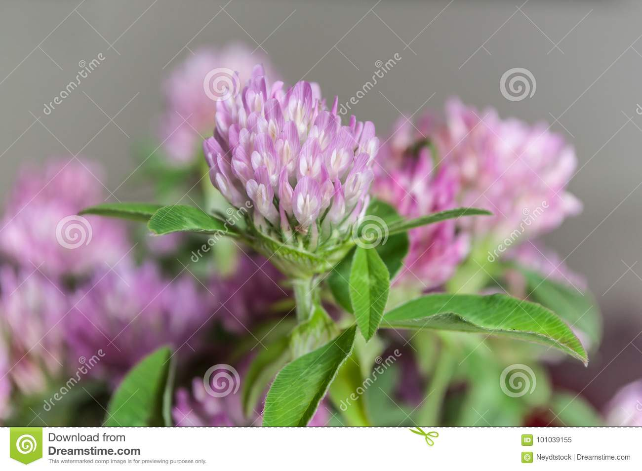 Bouquet Of Purple Clover Flower In Pot Stock Image Image Of Love