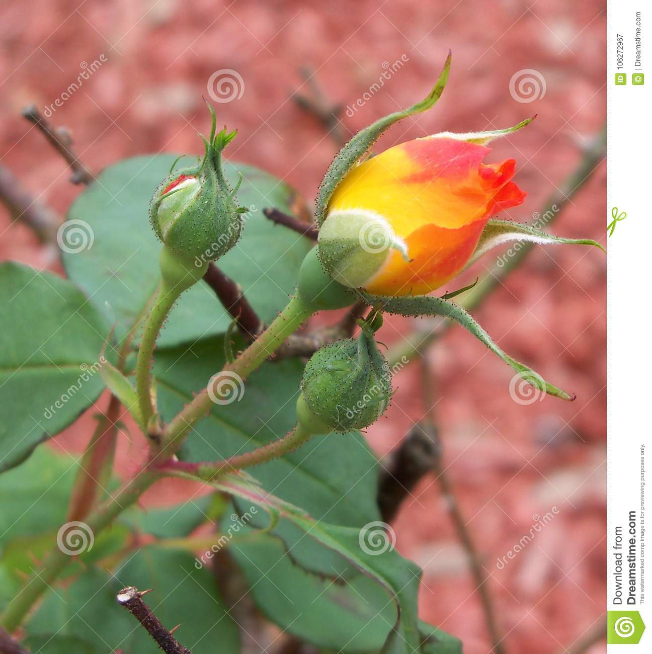 A brilliantly colored yellow and bright orange rose bud