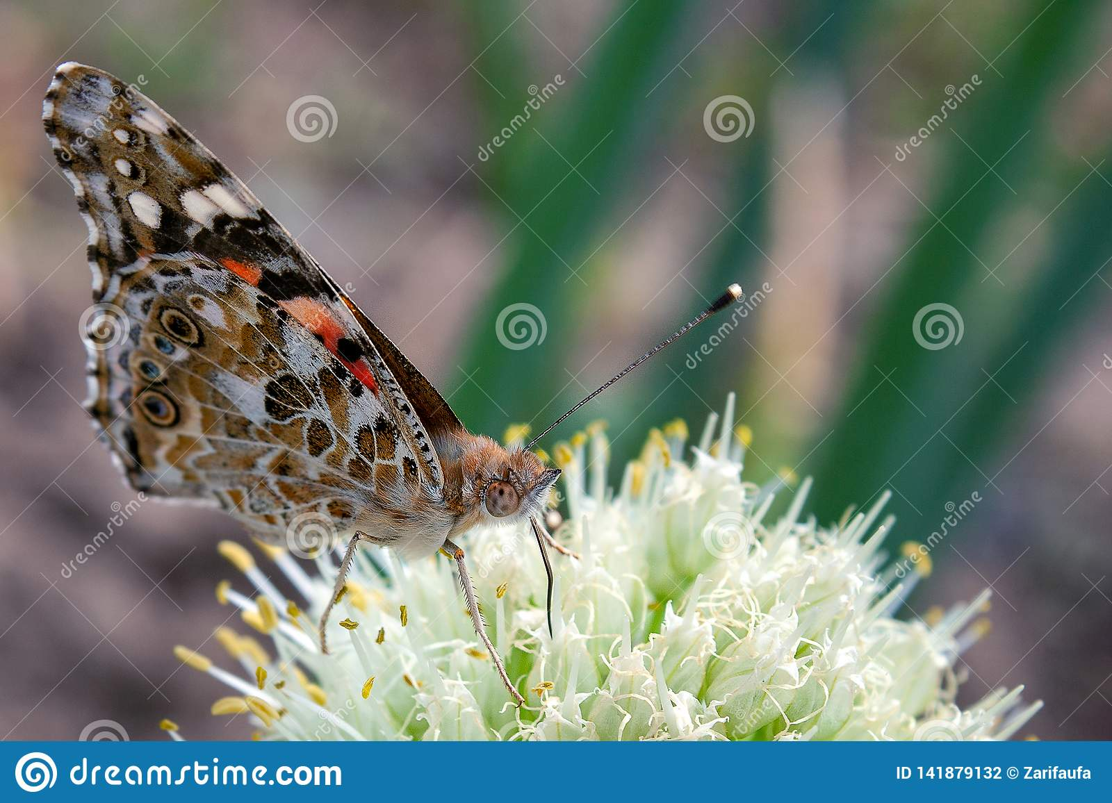 Closeup brown butterfly on white onion flower