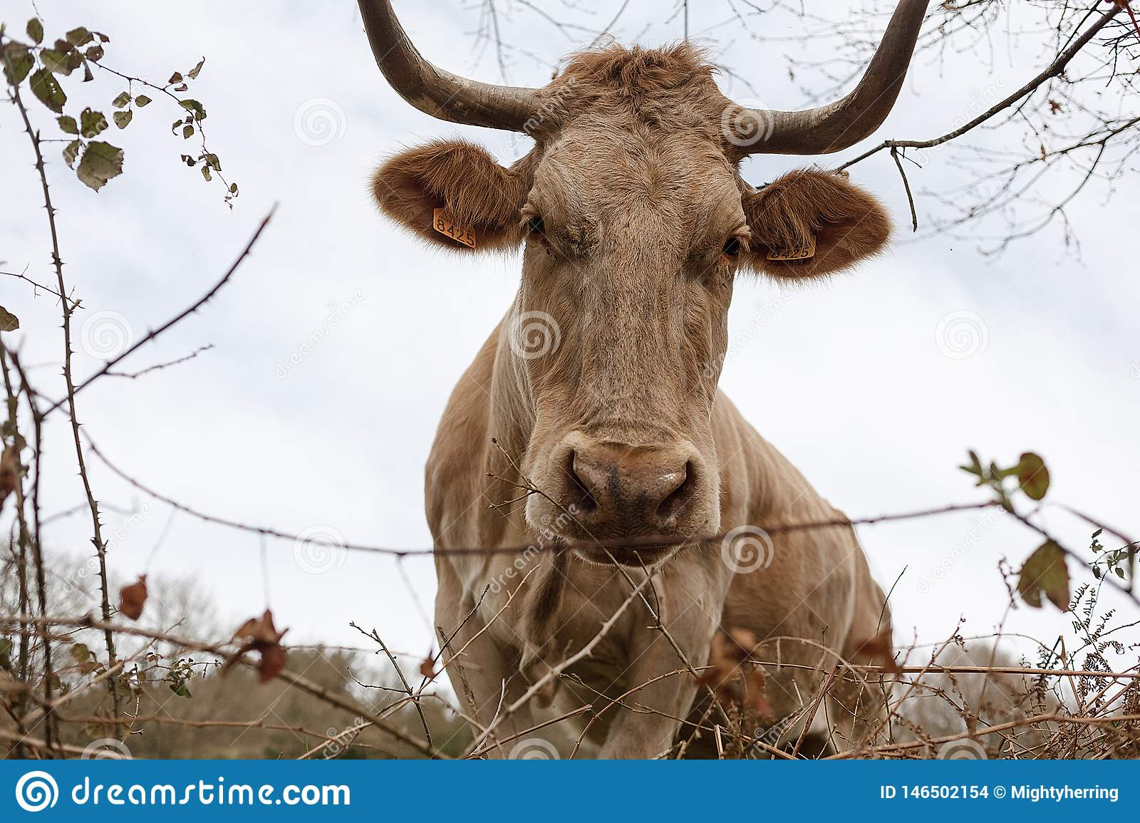 Closeup of a brown cow with a number on its ear grazing in a meadow in spring. Agriculture, breeding cattle concept