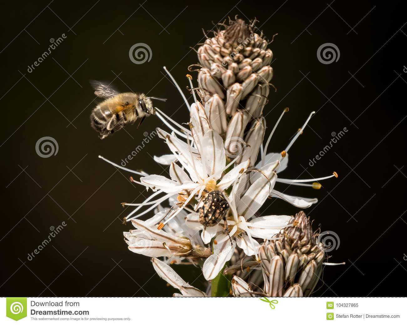 Closeup of a bumble bee approaching the white blossoms of Asphodelus