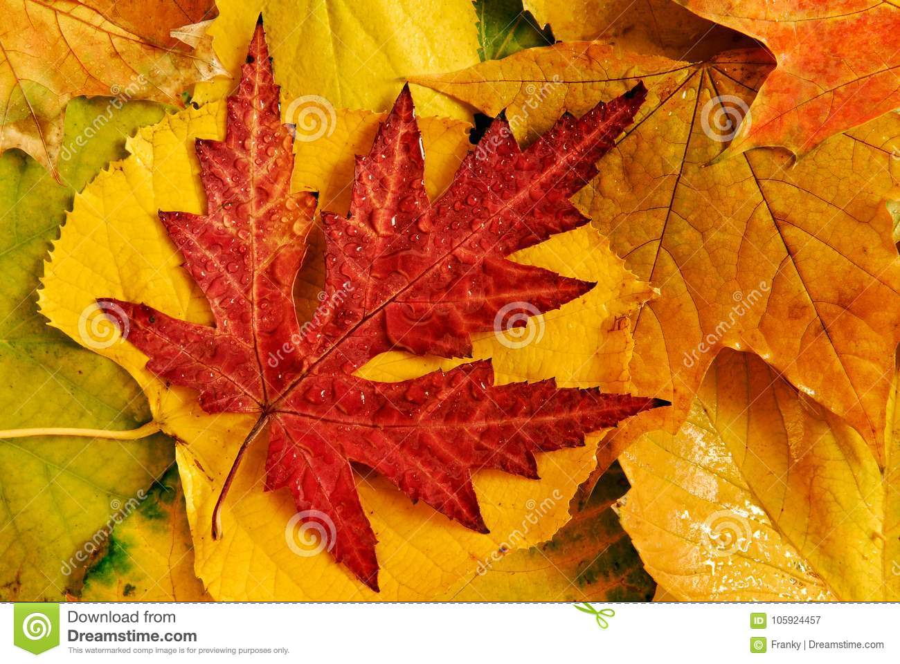 A Closeup Of A Bunch Of Colorful Autumn Leaves Stock Image Image Of Isolated Colored 105924457