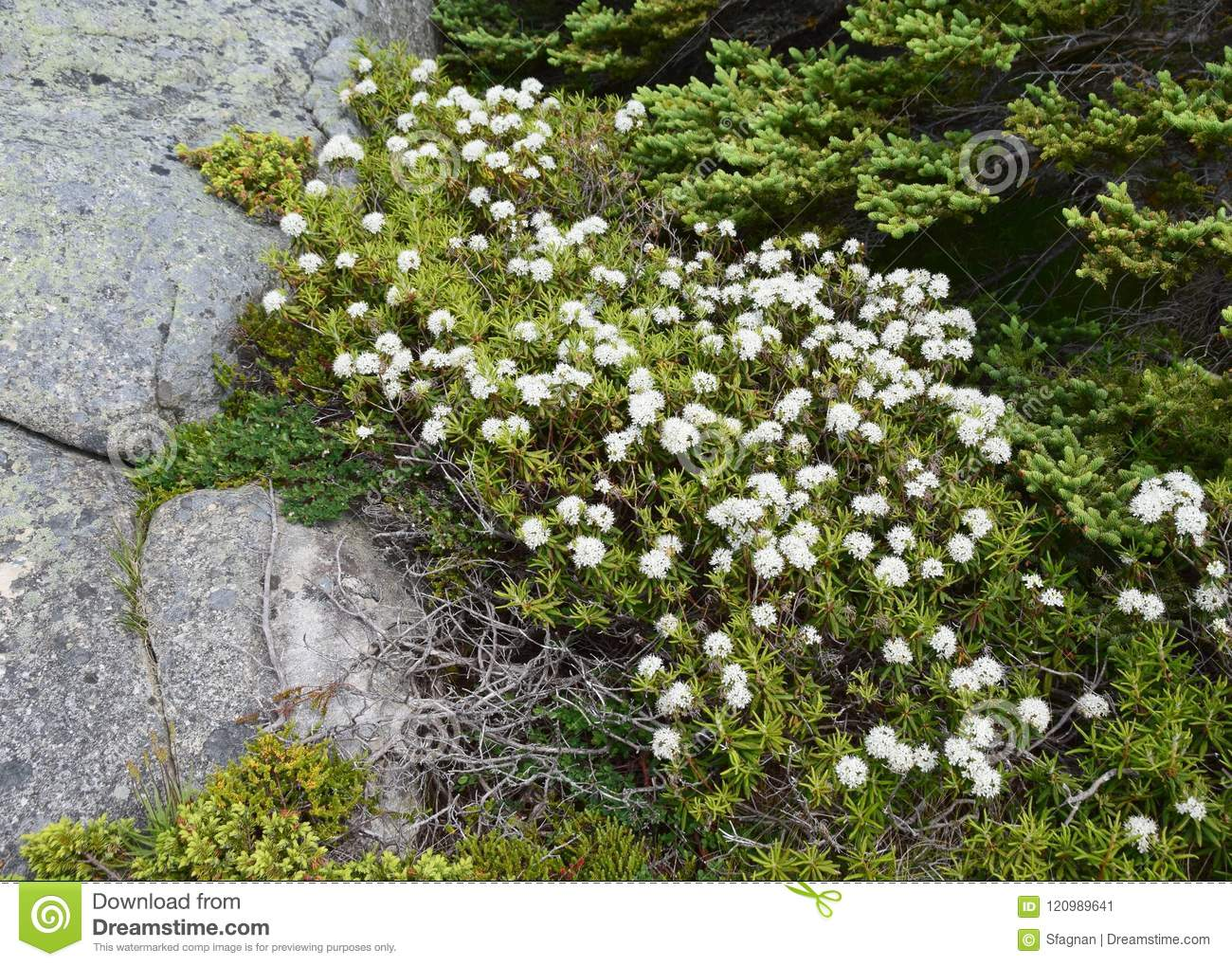 Labrador Tea Plant With White Clustered Flowers Stock Image Image