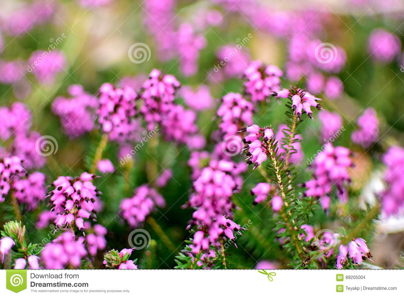 Closeup Of Calluna Vulgaris Spring Torch Stock Photo Image Of