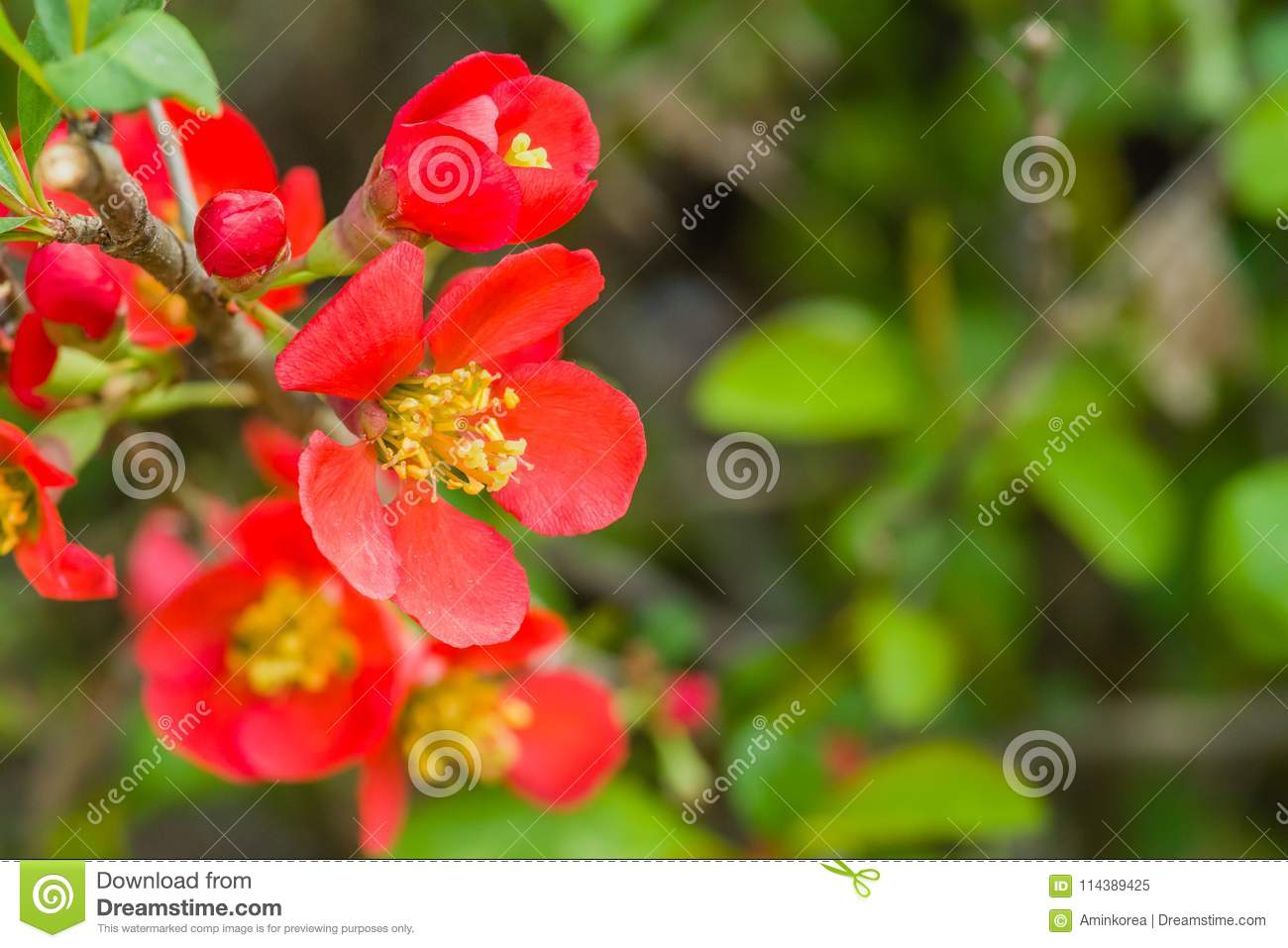 Camellia japonica aka korean fire stock image image of leaf plant closeup of camellia japonica flower small red flower with yellow stamen with natural blurred background flower is also known as korean fire mightylinksfo