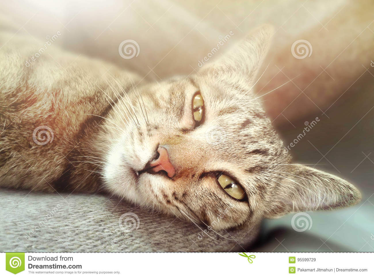 Closeup of cat is laying on gray carpet