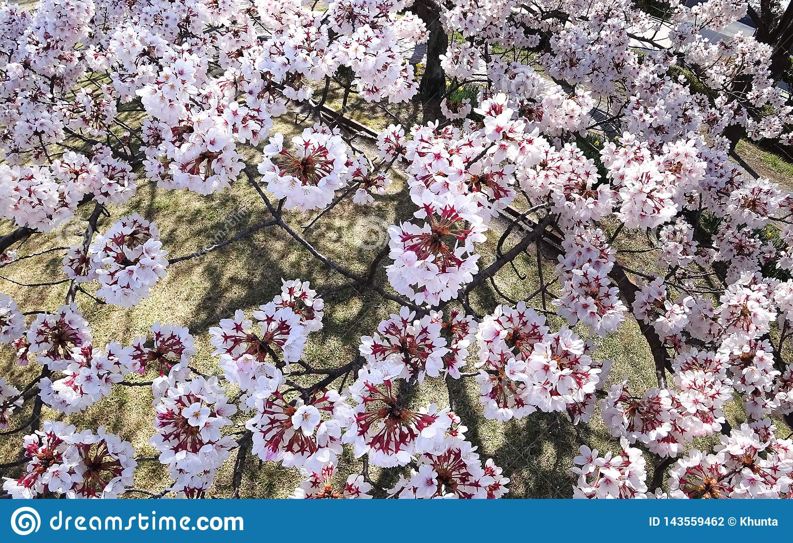 Closeup Of Cherry Blossoms In Full Bloom In A Park In Tokyo Stock
