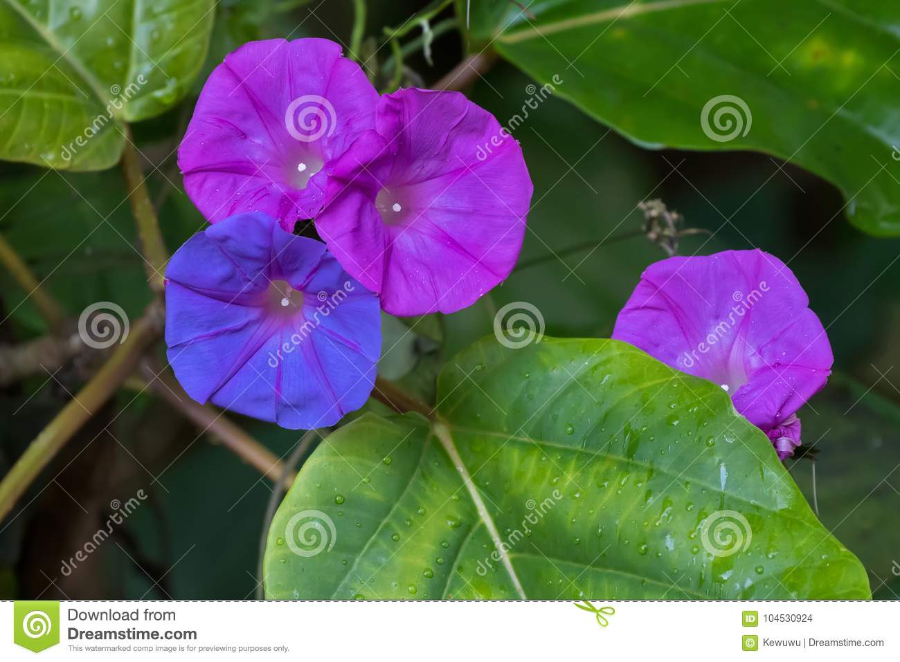Ocean blue morning glory flower in blue purple color known as k royalty free stock photo izmirmasajfo