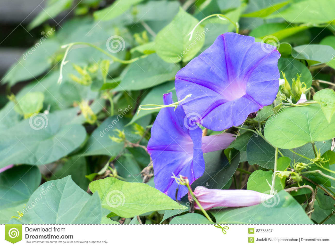 Closeup Couple of Shading Purple Butterfly Pea Flowers Blooming on The Tree with Green Leaves Background at The Corner