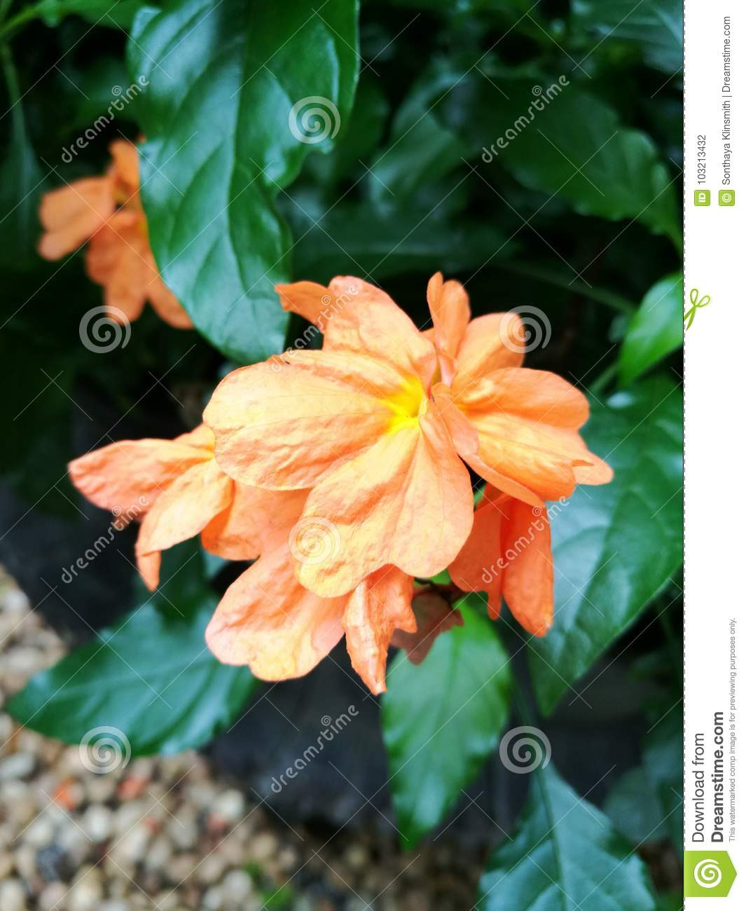 Pretty Orange Flowers Crossandra Stock Photo Image Of Plant