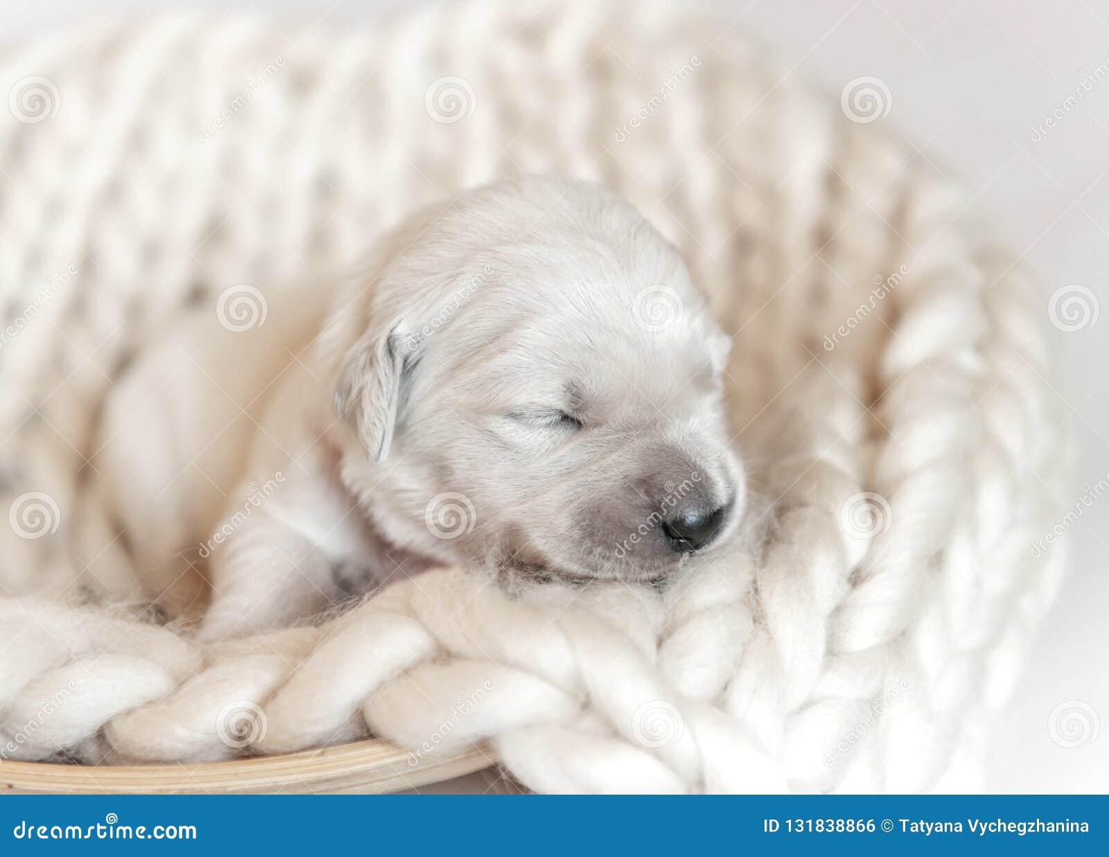 closeup of cute fluffy newborn golden retriever puppy sleeping stock