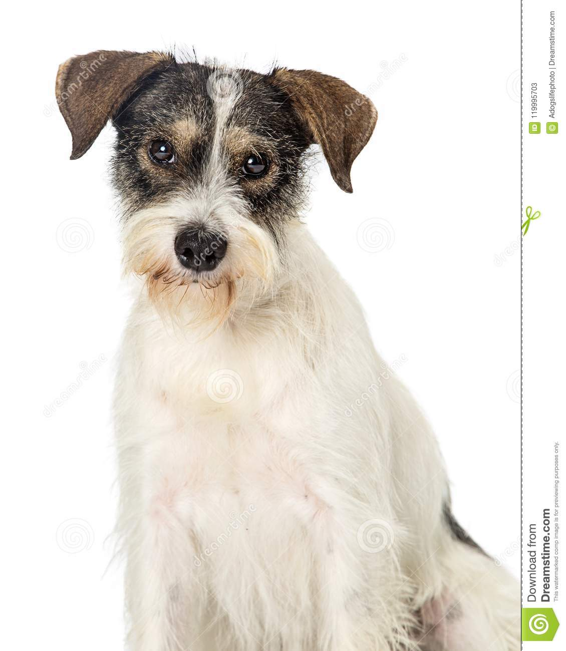 Jack Russell Terrier Crossbreed Dog Closeup Stock Image Image Of