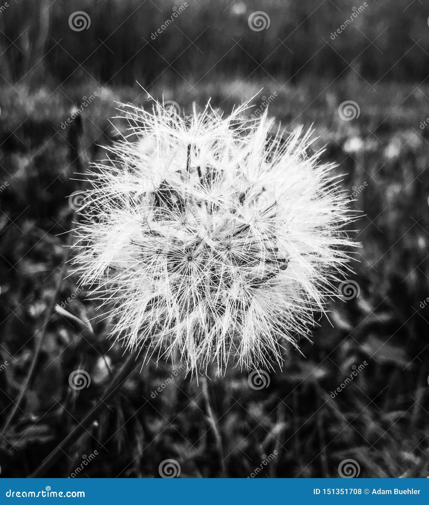 A closeup on a dandelion