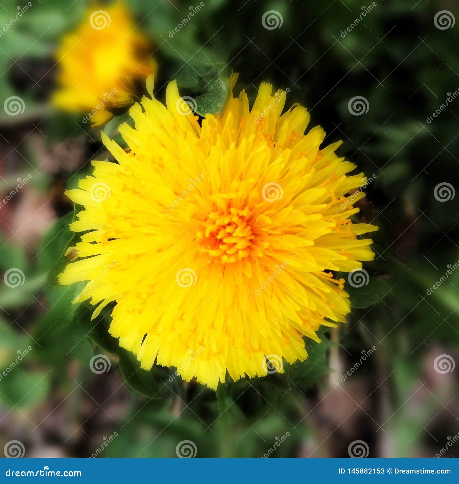 Closeup of a dandelion blossoming