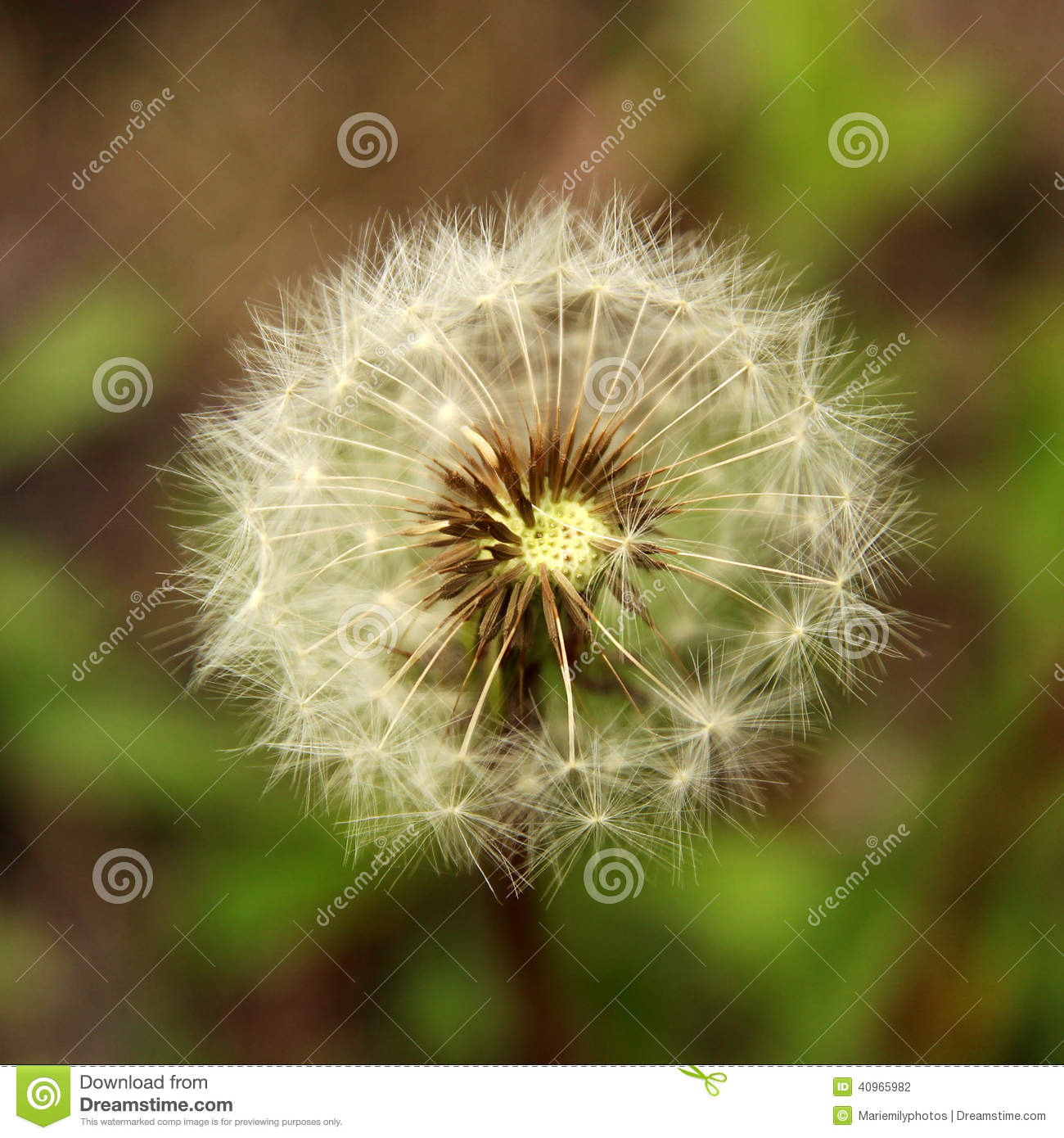 Closeup Of A Dandelion Stock Photo. Image Of Flora, Seeds