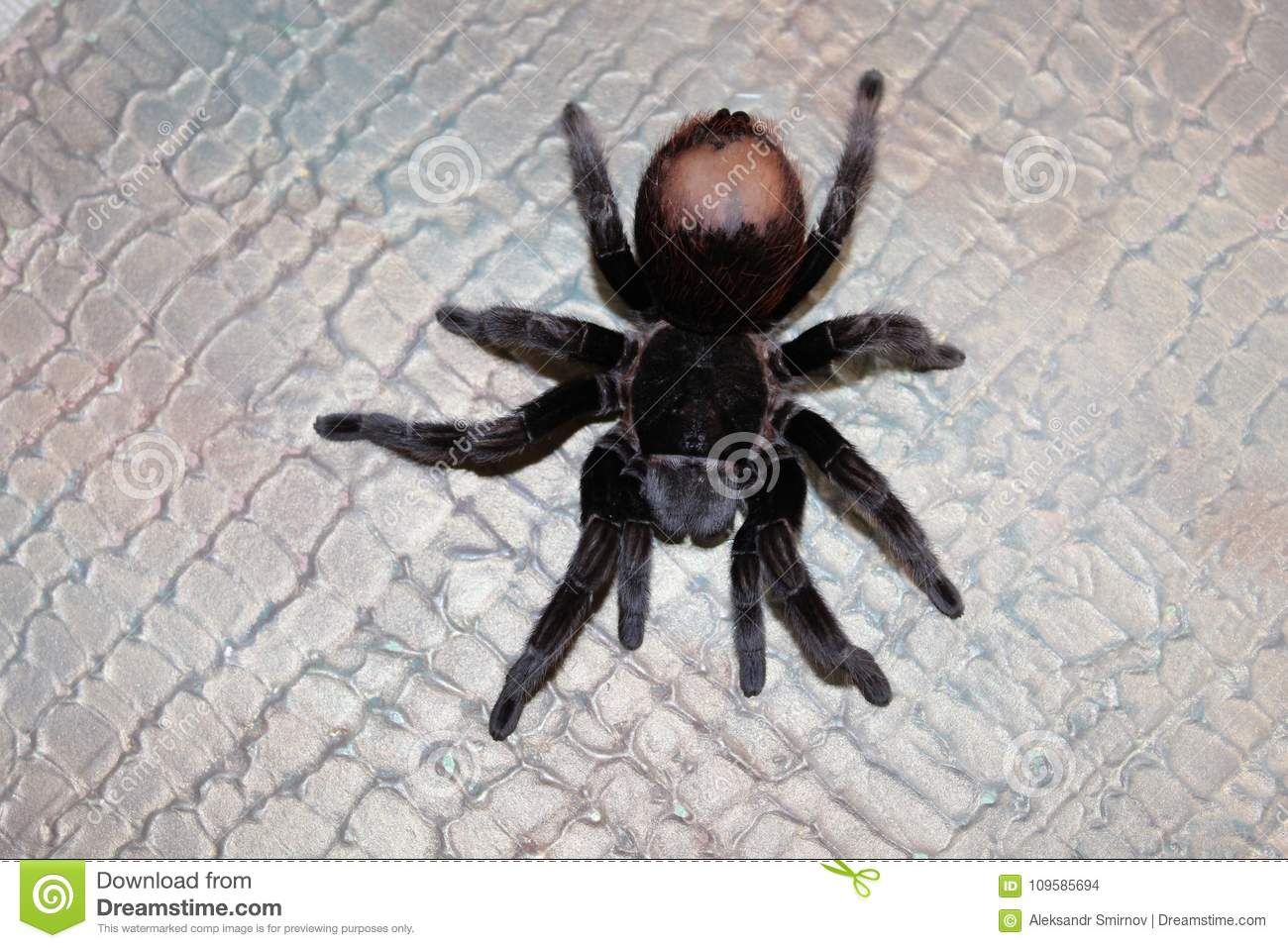 Spider Tarantula Species Stock Photo Image Of Poisonous