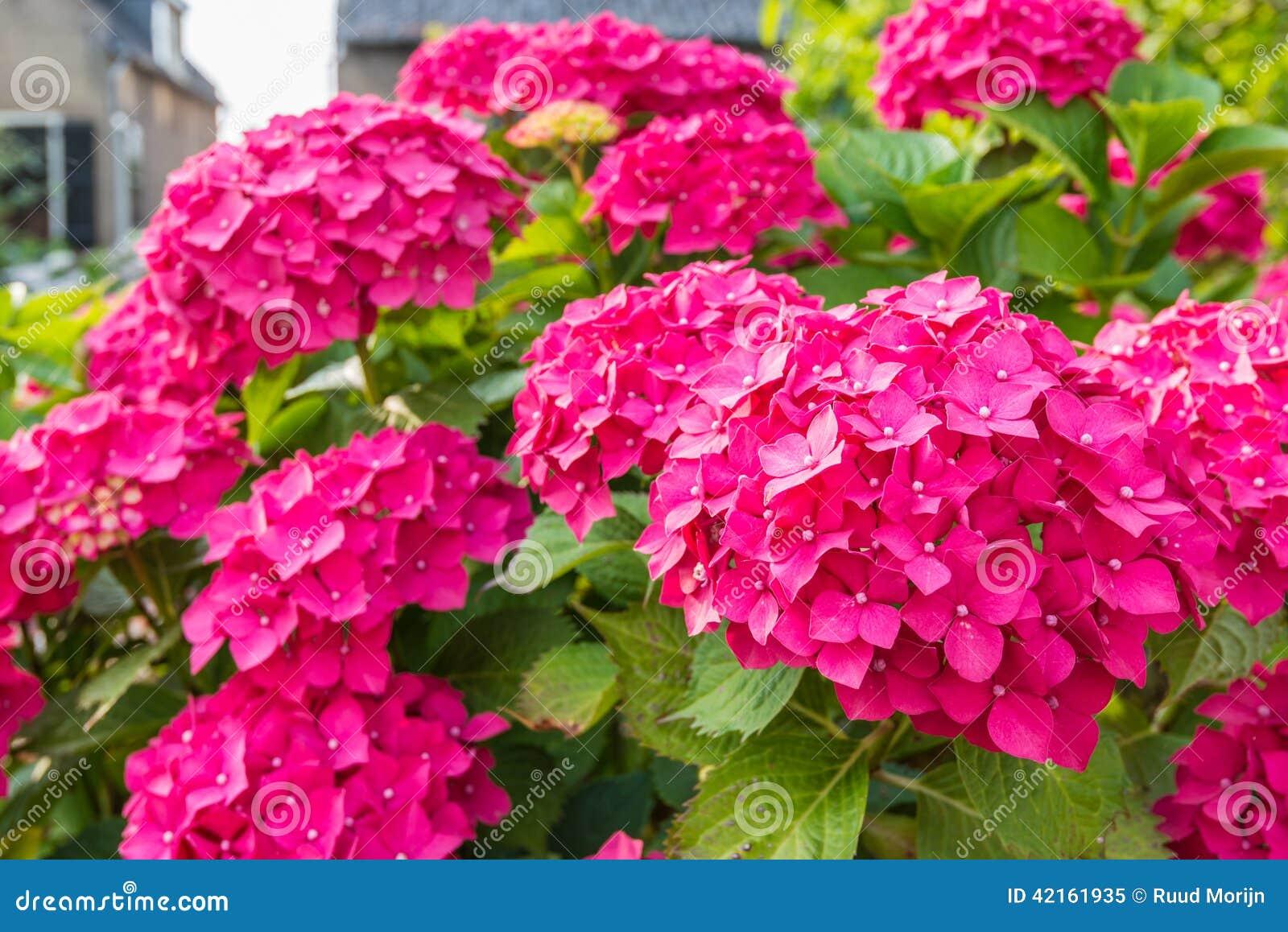 Closeup Of A Dark Pink Blooming Hydrangea Shrub Stock
