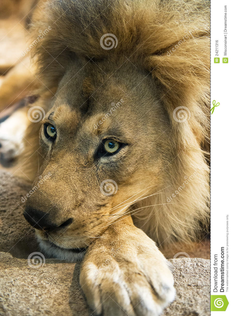Closeup Detail Of Male Lion Face And Mane Royalty Free ...
