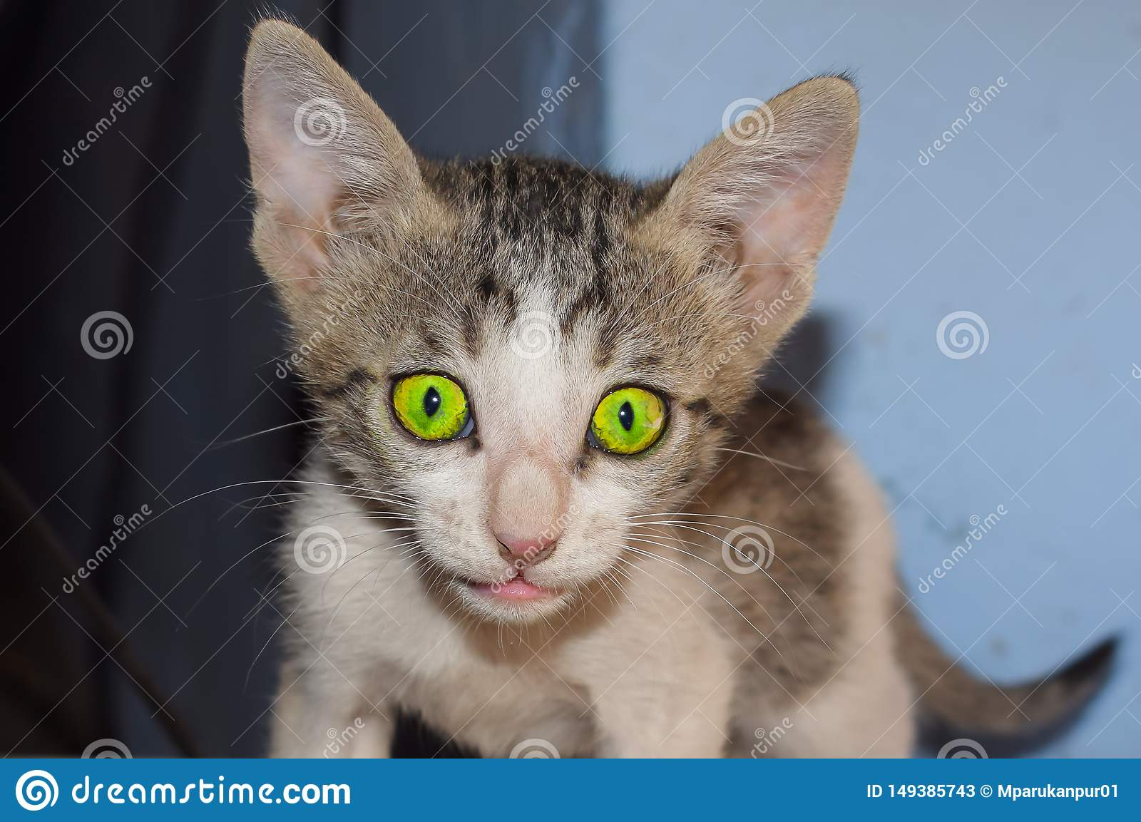 Closeup of a domrstic kitten at home