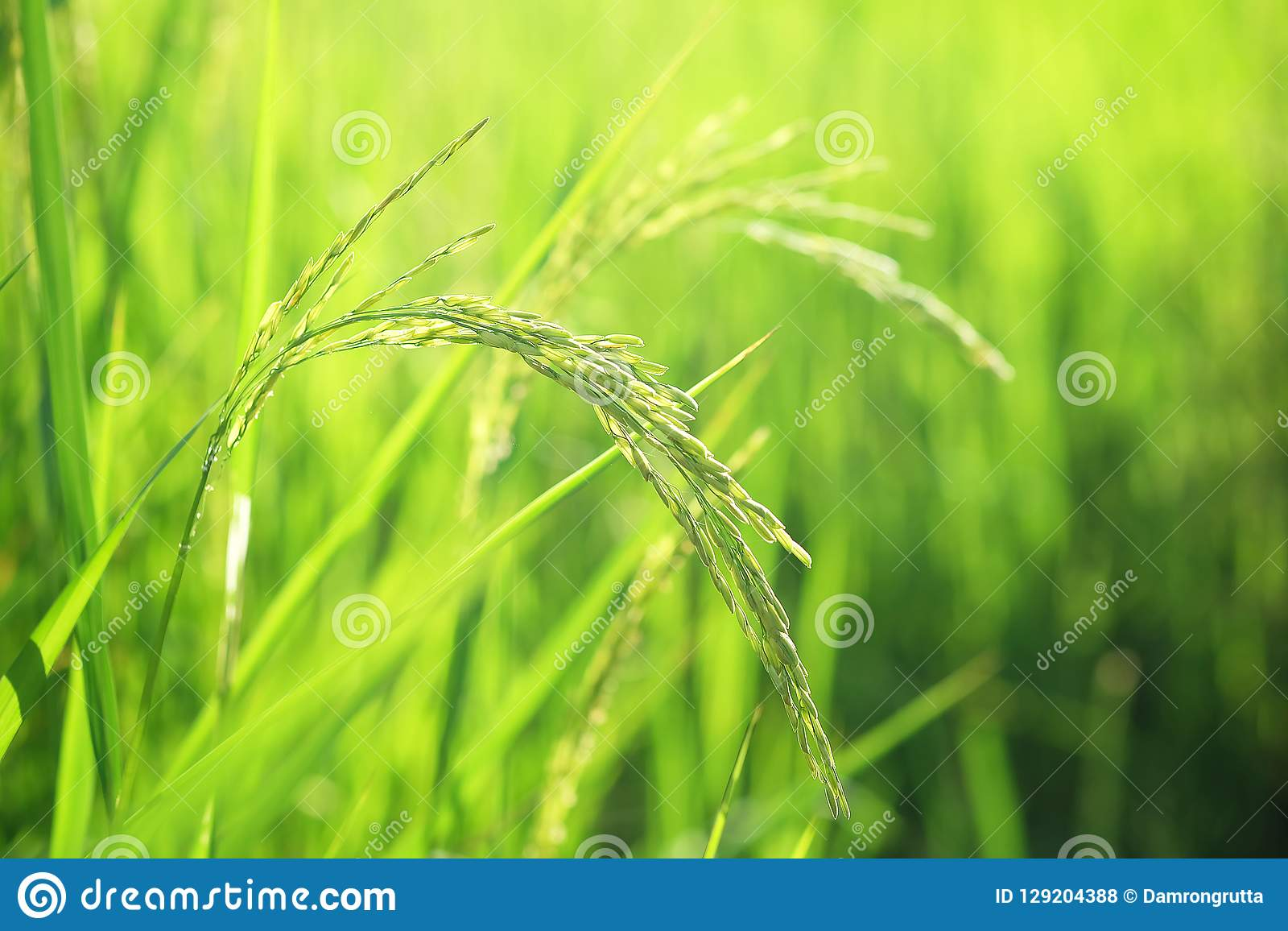 Closeup ear of paddy, Golden Rice Field