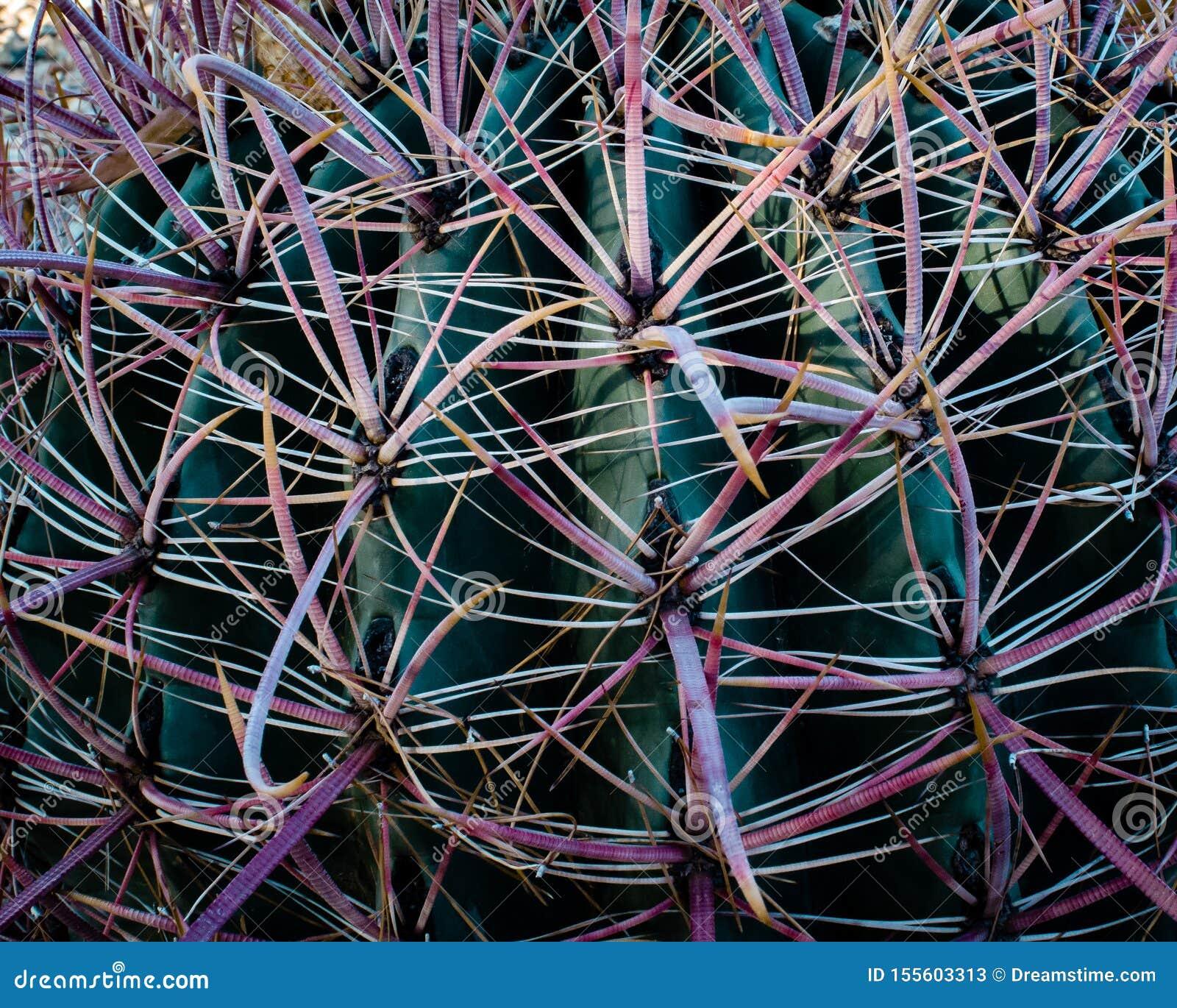Closeup för en metkrok- eller Arizona kaktus som liknas en dusch som visar den röda tonen till de hota taggarna som orsakas av mo