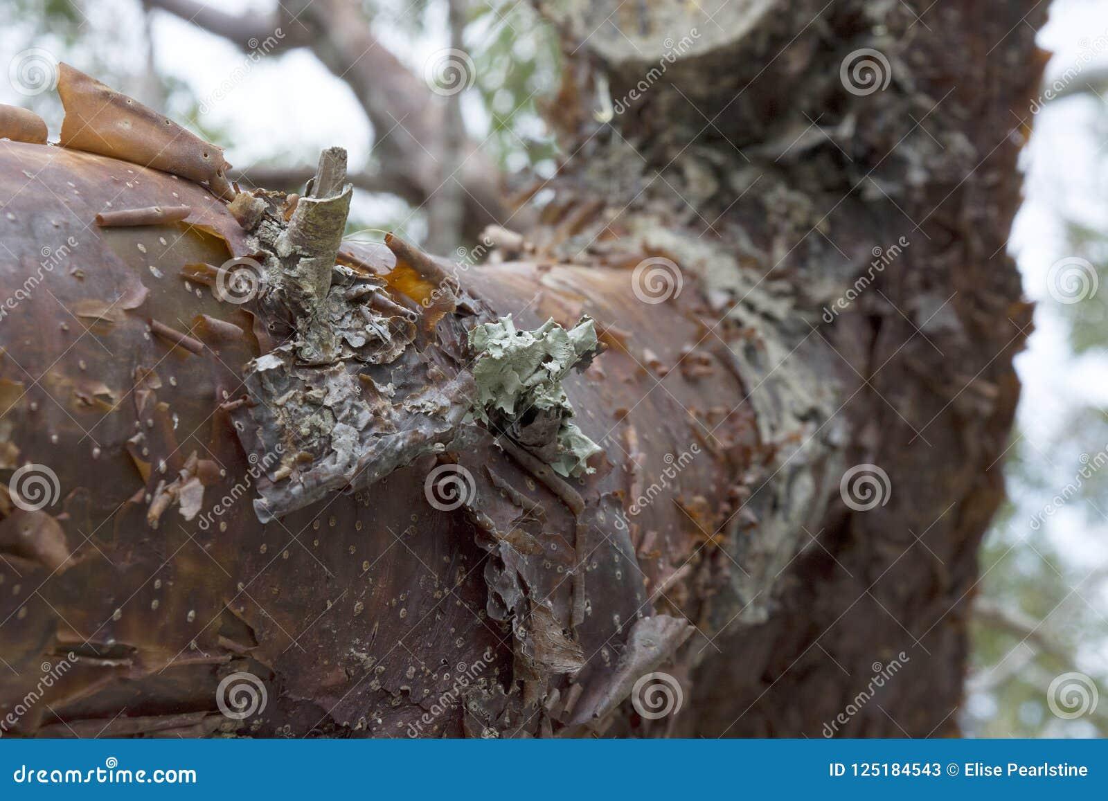 Closeup för Gumbolimboträd med skalning av det rödaktiga skället och av Lichen Detail