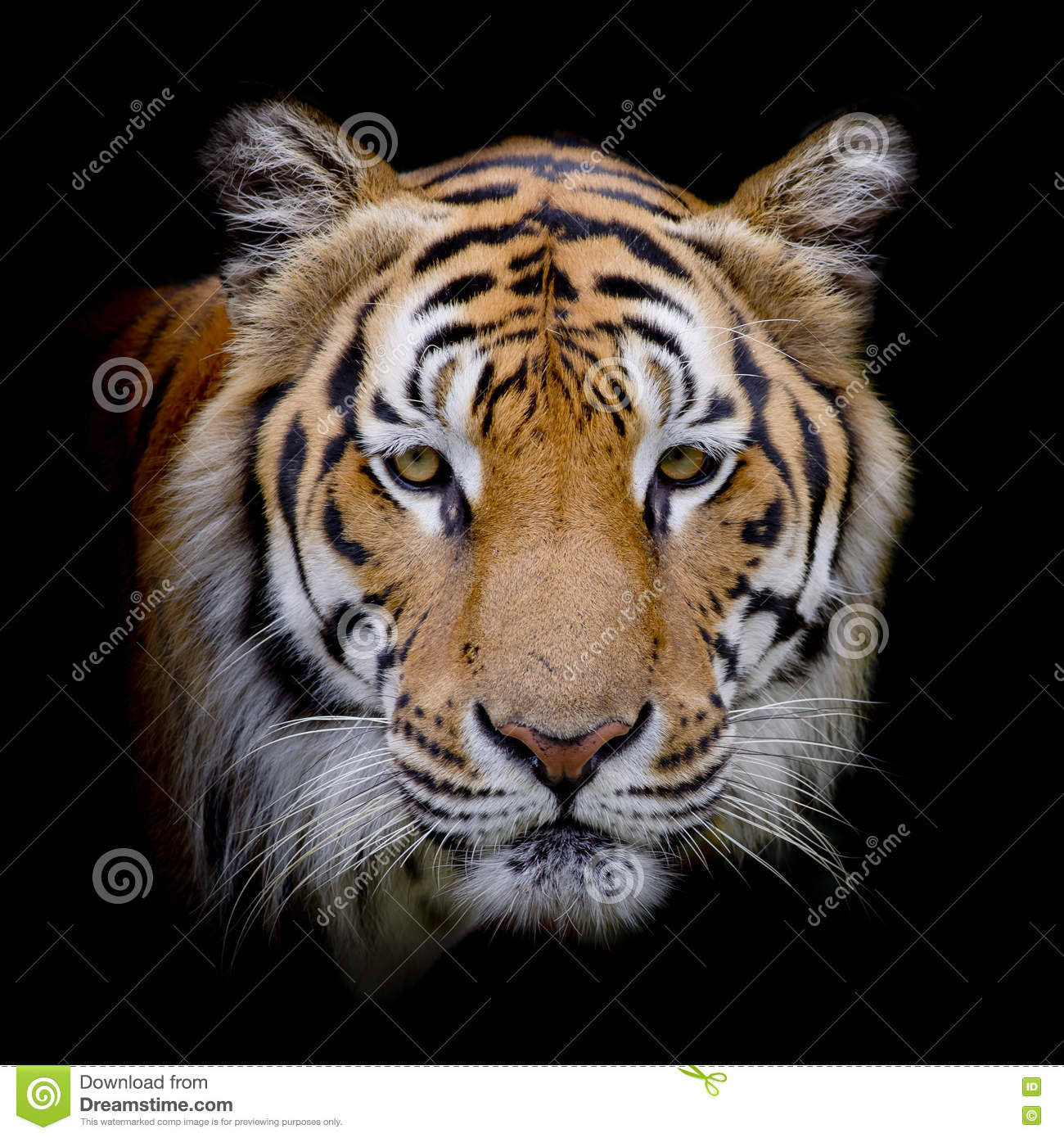 Closeup Face Of Tiger On Black Color Background Stock Photo