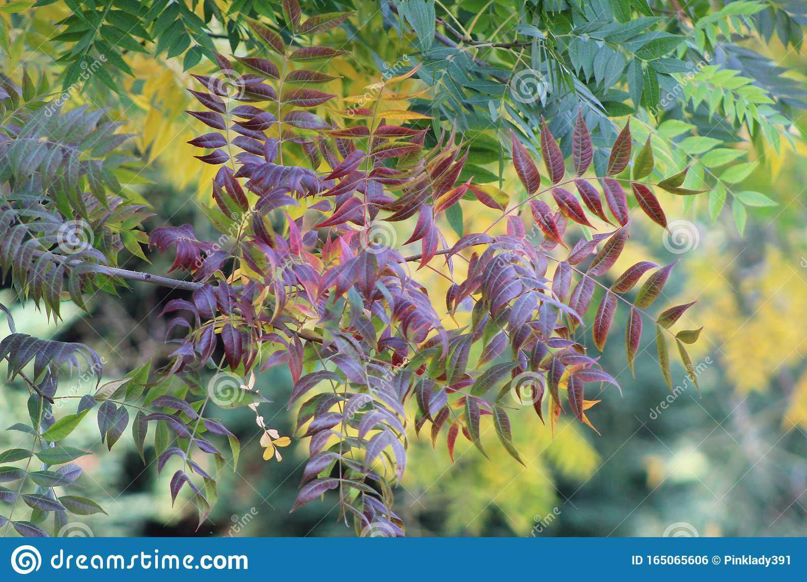 Closeup Of Fall Leaves Turning Purple Stock Photo Image Of View Yellow 165065606