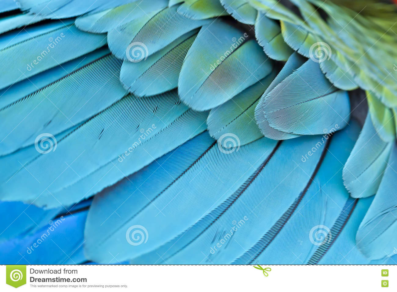 Closeup feather blue and gold Macaw