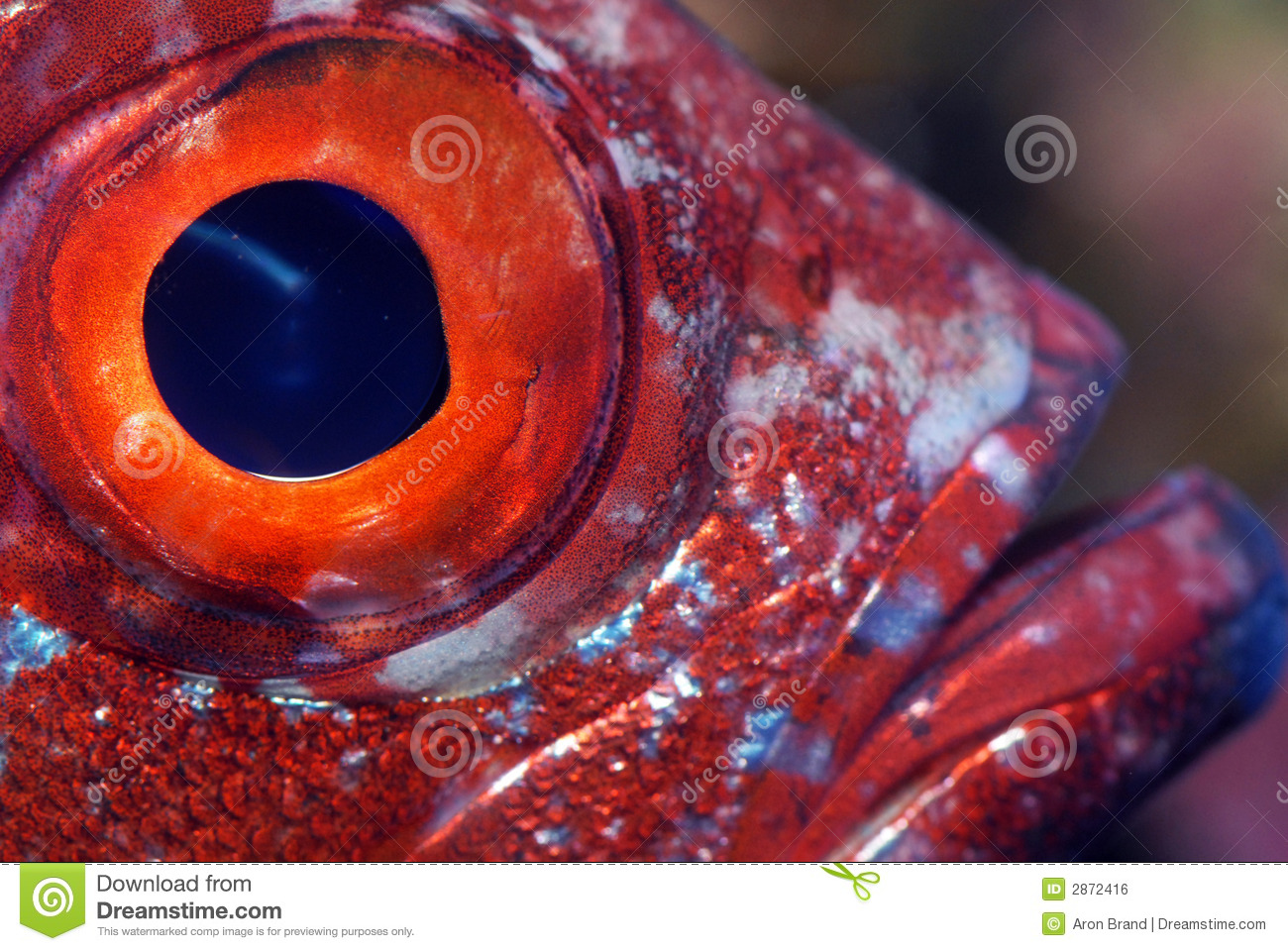 Closeup of a fish eye stock photo image of closeup for Fish eye skin