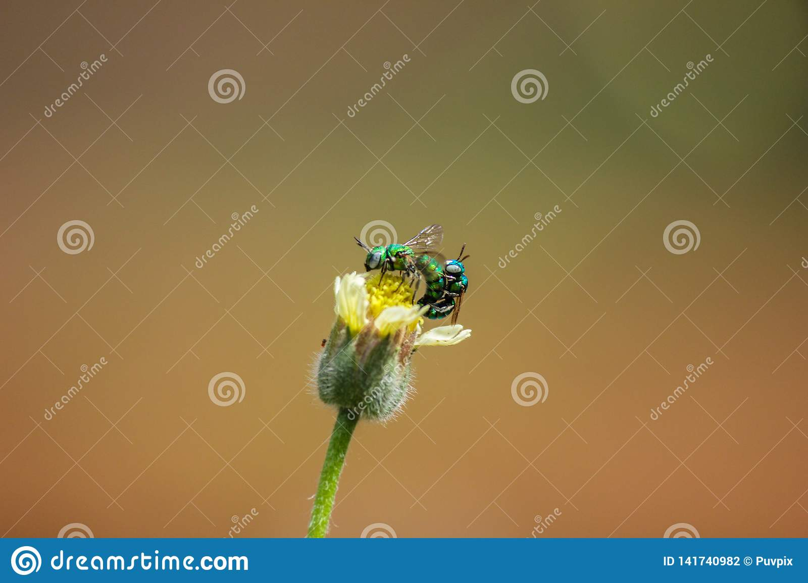 Closeup of flies mating on a yellow flower. green flies mating.