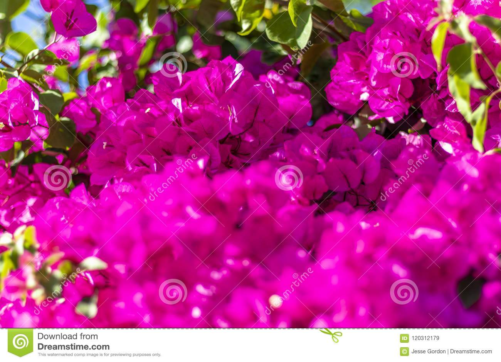 Vivid Pink Flower Bush Blossoming Stock Image Image Of Bush Pink
