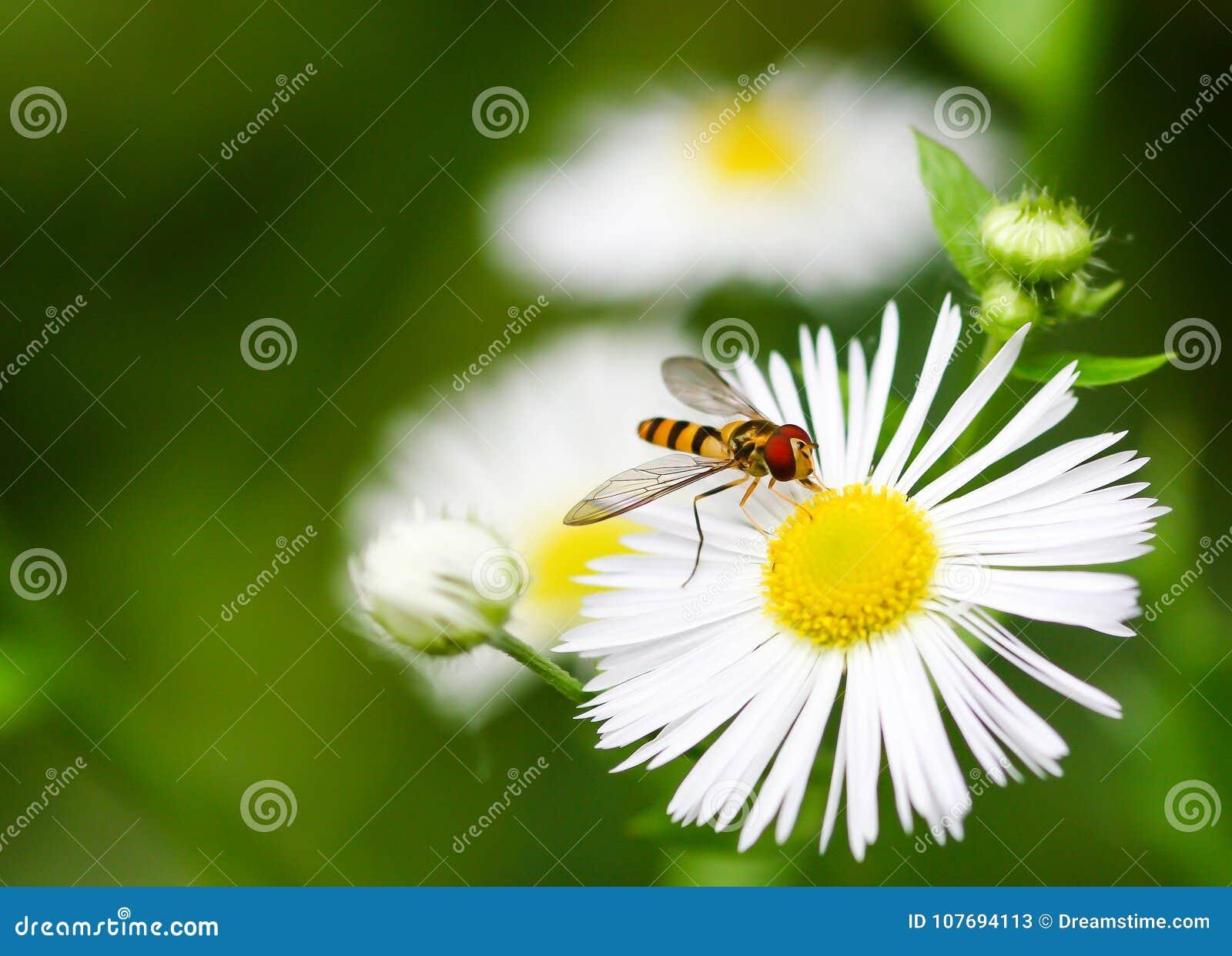 Closeup of a flower fly on a daisy like flower stock image image download closeup of a flower fly on a daisy like flower stock image izmirmasajfo