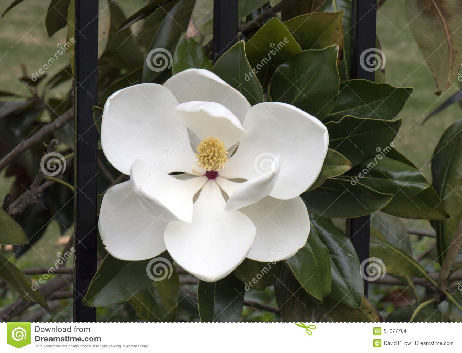 Closeup Of Flower Of The Magnolia Grandiflora Tree Stock Photo