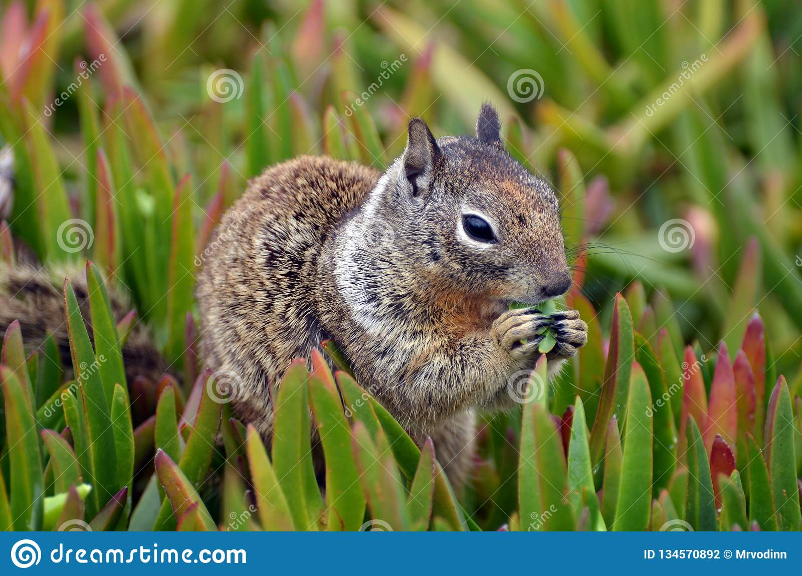 A closeup fluffy animal with varied fur named Spermophilus beecheyi is eating a juicy tuft of grass.
