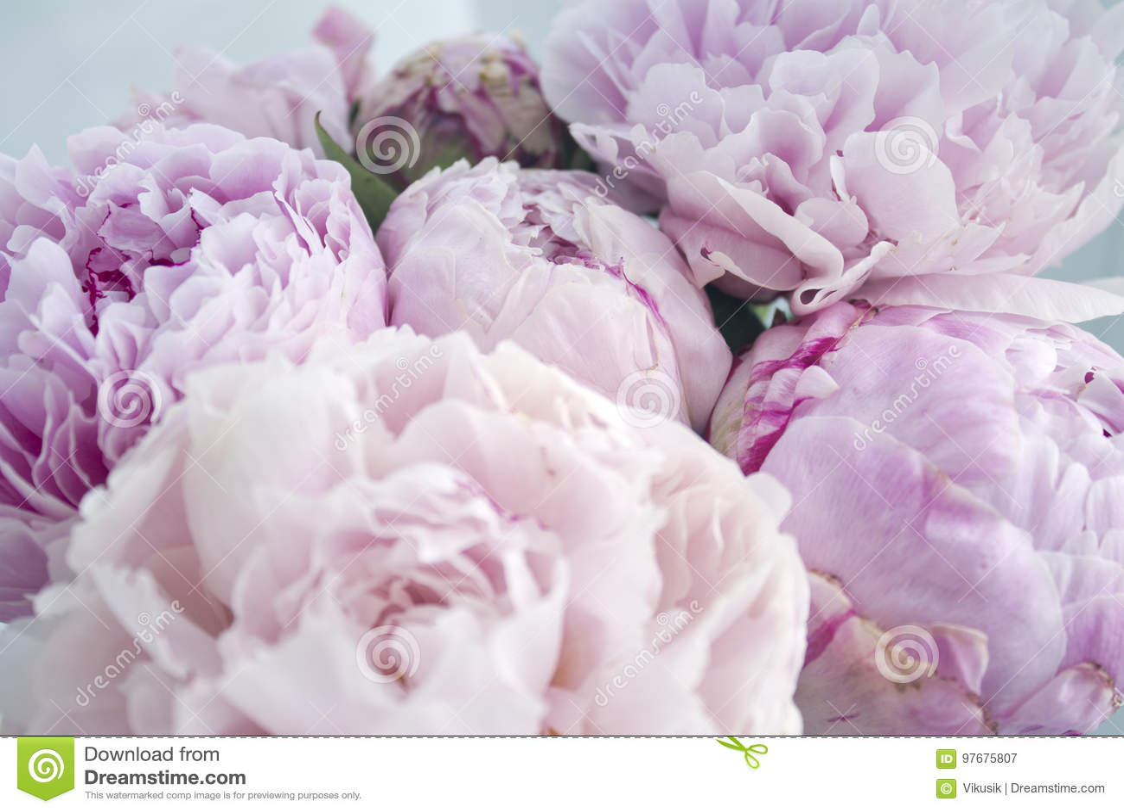 Closeup Fresh Bunch Of Pink Peonies Peony Flowers Card