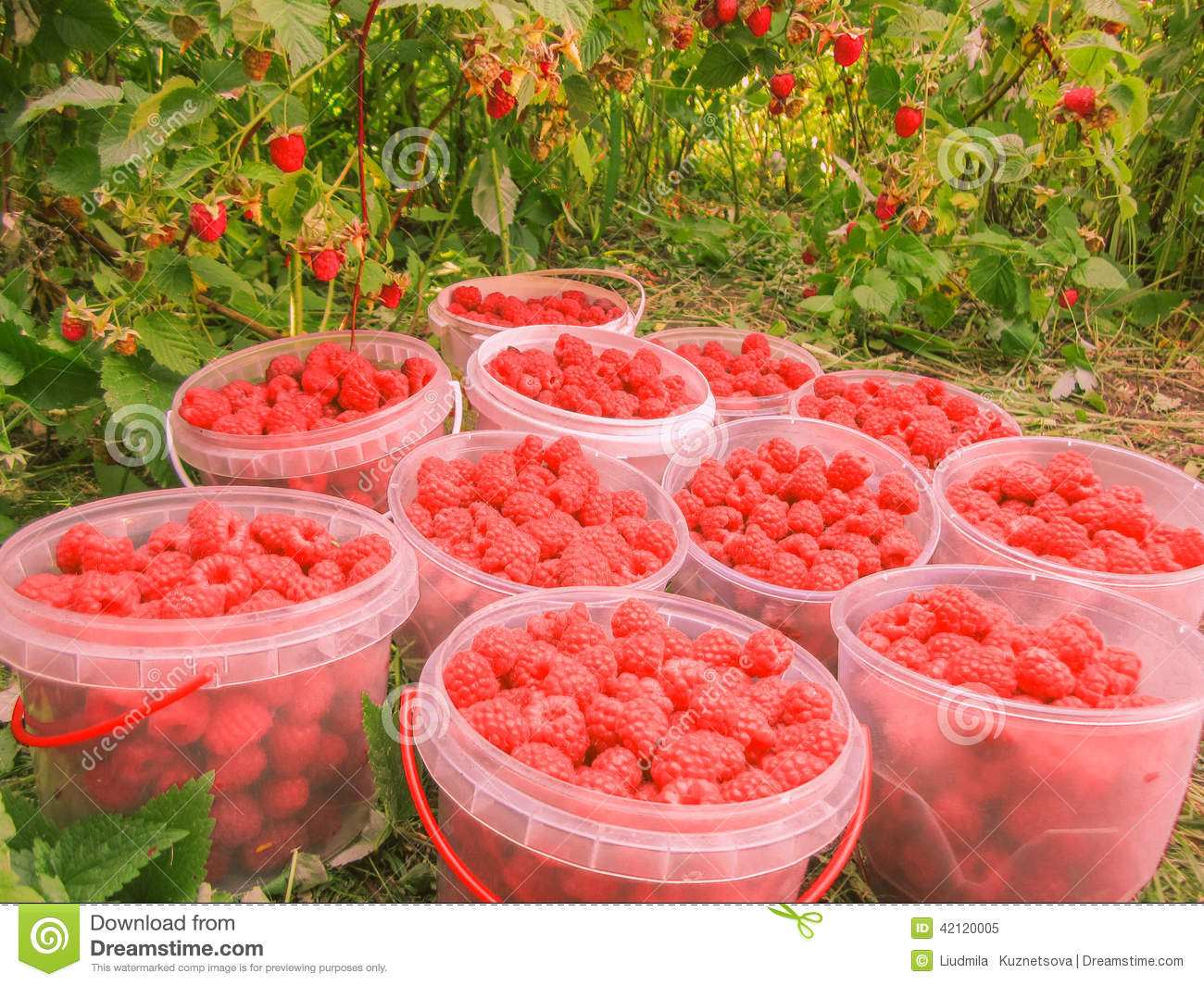 Closeup of freshly picked raspberries in plastic boxes on raspberry s bush background, horizontal photo, photo took in the