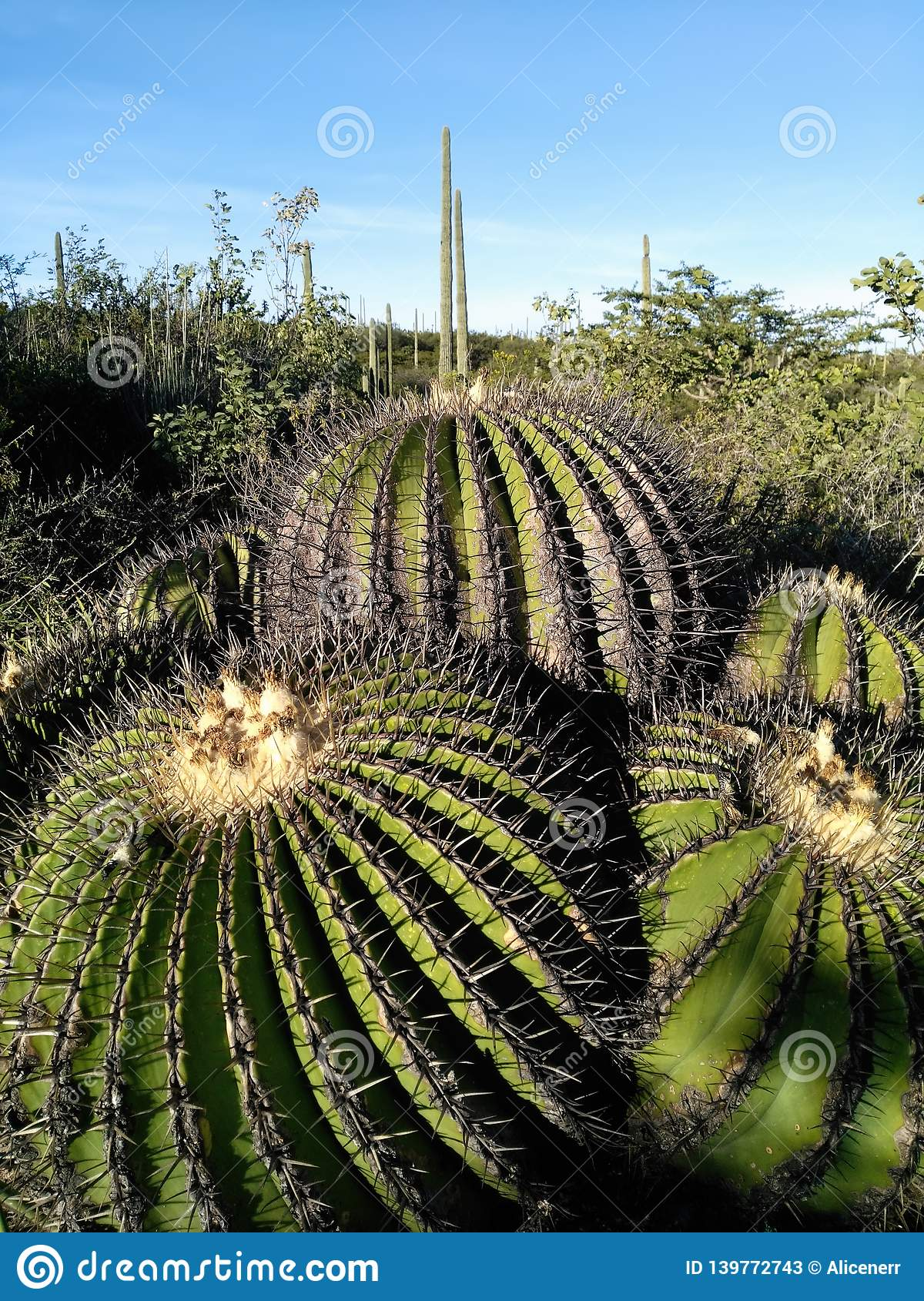 Closeup Of Funny Cute Looking Spherical Cacti I Stock Image