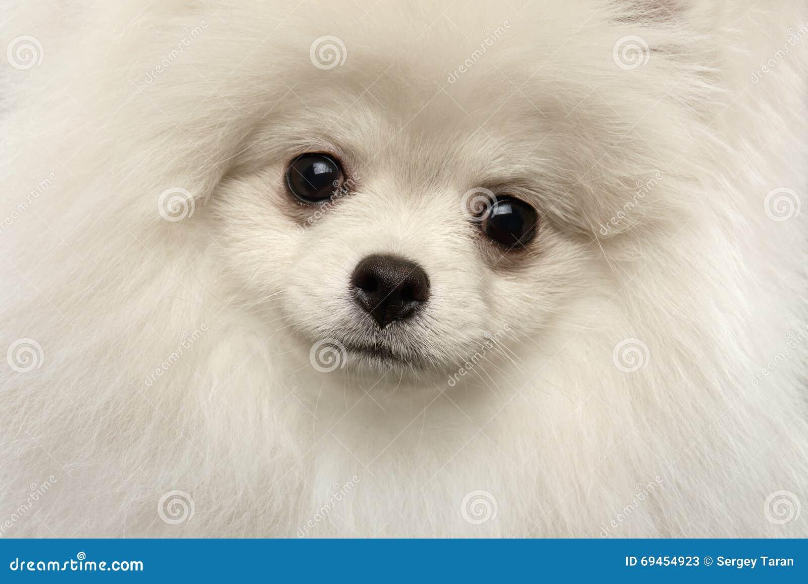 Closeup Furry Cute White Pomeranian Spitz Dog Funny Looking, isolated
