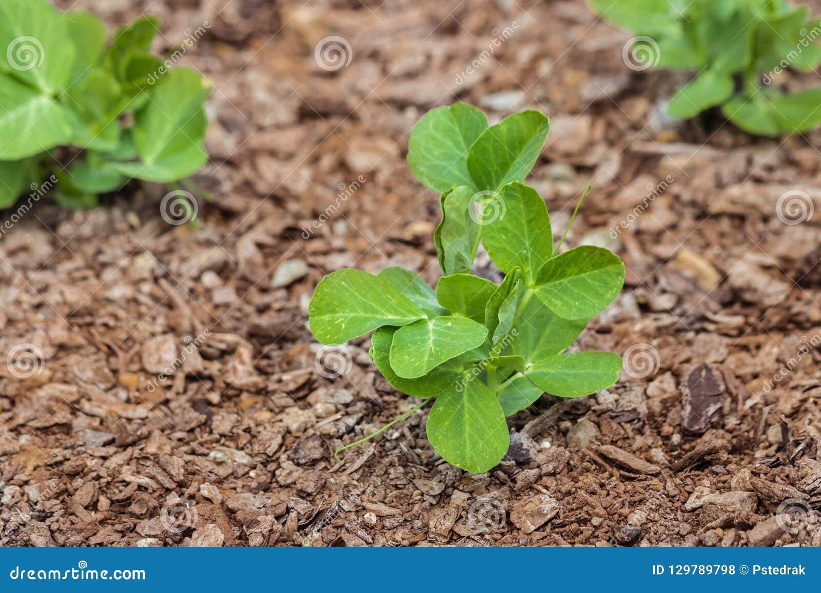 Garden pea seedlings growing in garden