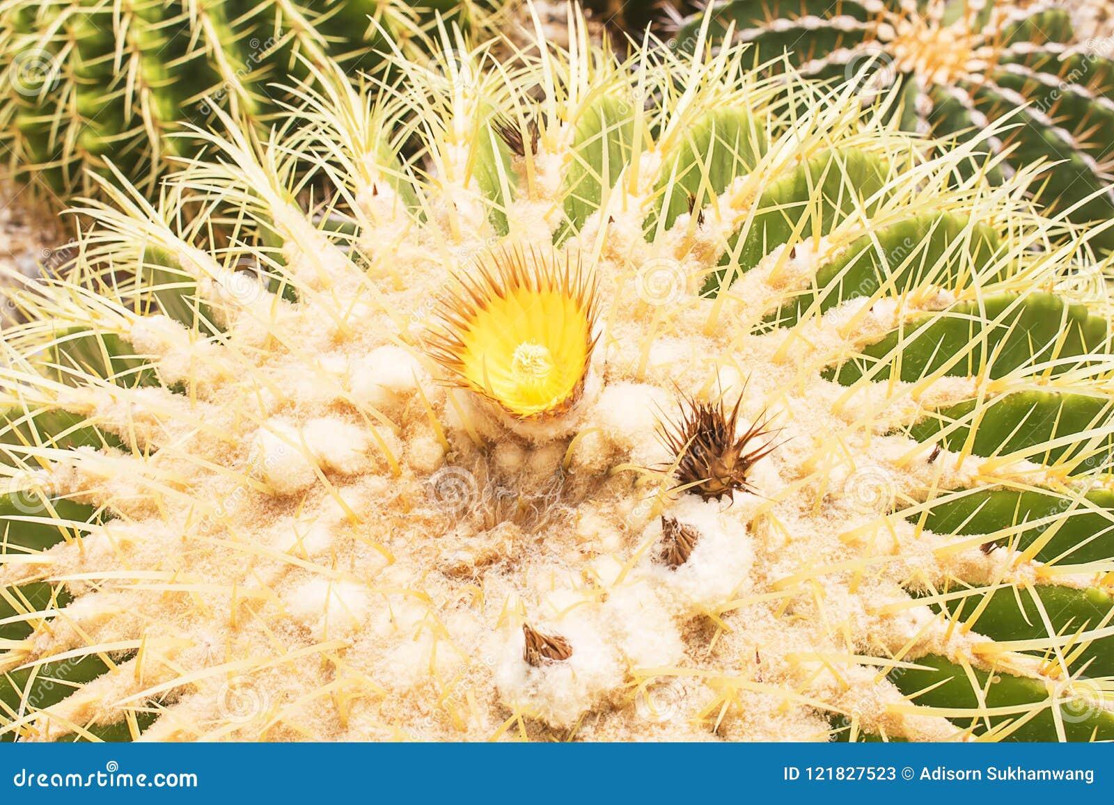 Closeup of Golden Barrel Cactus, Echinocactus grusonii.