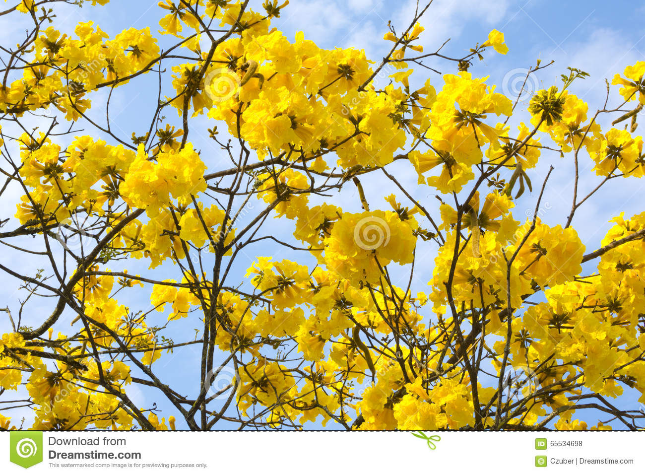 Closeup golden trumpet tree flowers stock photo image of trumpet closeup of twisted bare branches and fully blooming yellow flower clusters of tabebuia chrysotricha golden trumpet tree under sunny blue sky in brazil mightylinksfo