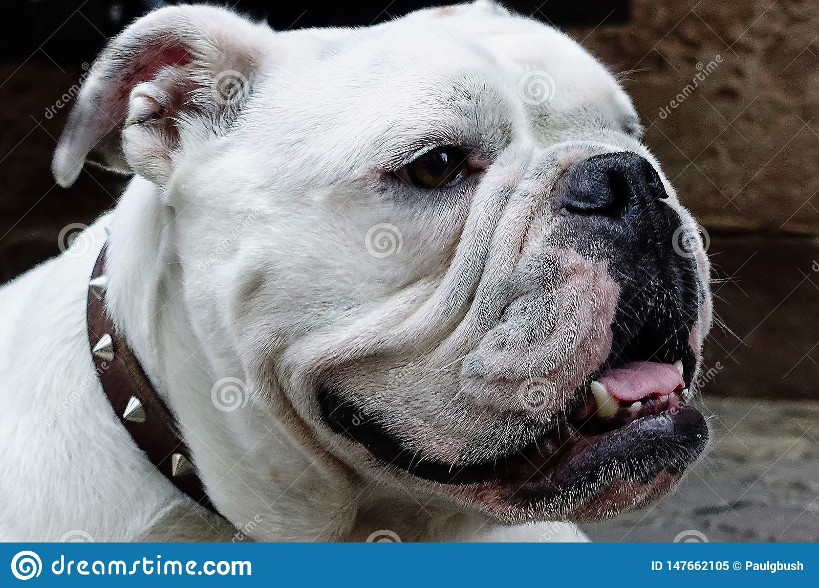 Closeup of Gorgeous White Bulldog with a face only his mother could love.