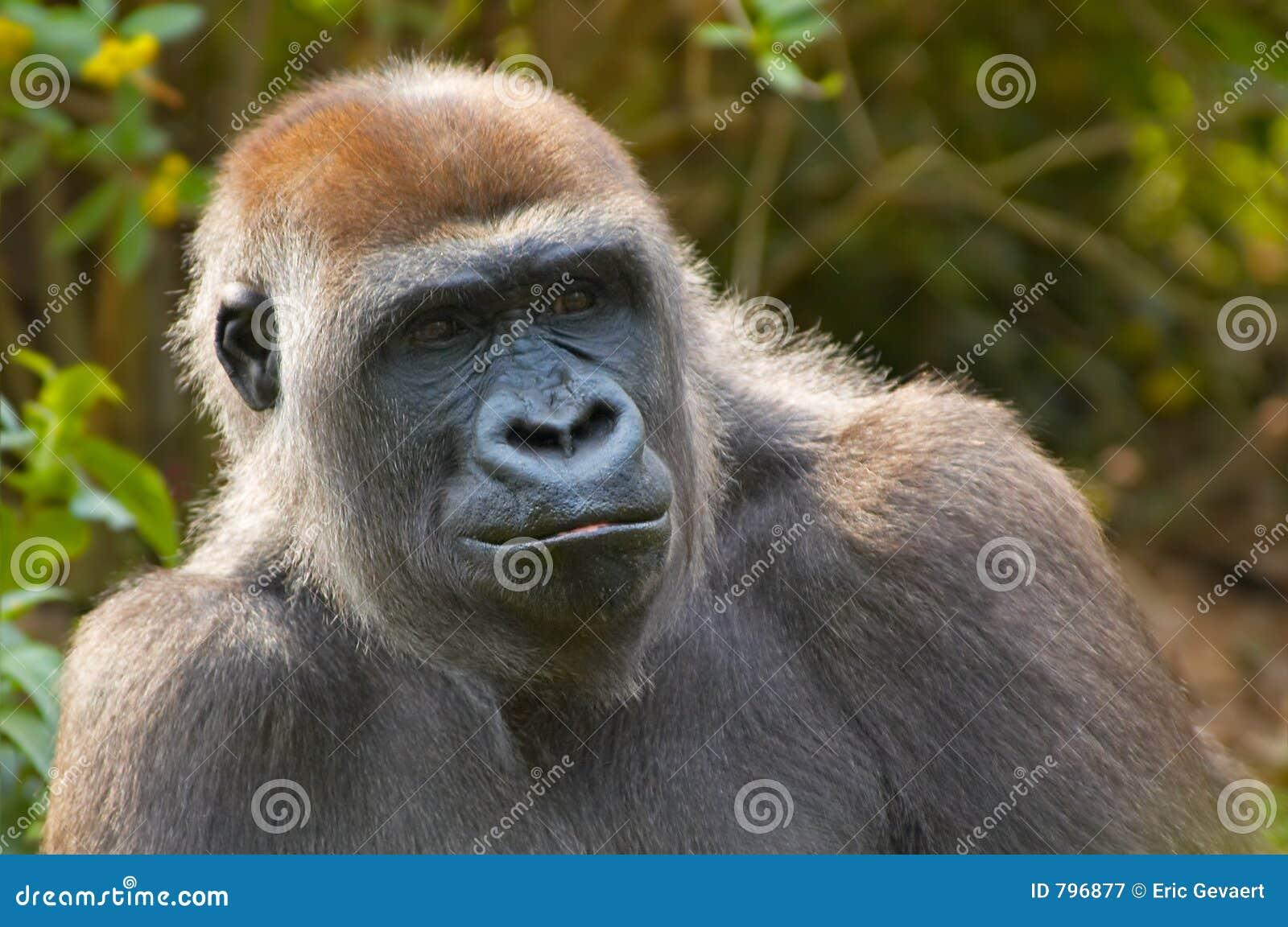 Closeup of a gorilla